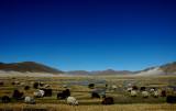 Sheep of Potosi