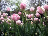 Pink Tulips in the park, Uppermill