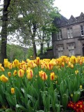 Yellow tulips in the park, uppermill