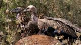 himalayan griffons feasting on a carcass