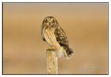 Short ear owl pole.jpg