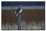 Short ear owl evening.jpg