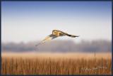 Gliding over the grass Hawk owl.jpg