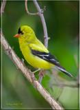 goldfinch.jpg