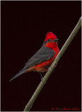 Vermillion Flycatcher.jpg