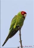 Red-masked Parakeet.jpg
