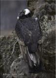 Andean Condor (female).jpg