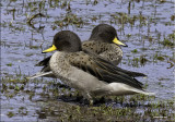 Yellow-billed Teal.jpg