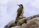 Andean Flicker.jpg