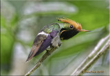Rufous-crested Coquette.jpg
