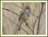 Savanna Sparrow.jpg