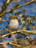 tweety_birds
