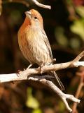Female Finch 1.jpg