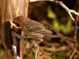 Female Finch 2.jpg