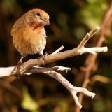 Female Finch 4.jpg