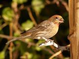 Female Finch 5.jpg