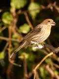 Female Finch 6.jpg