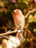 Male Finch 3.jpg