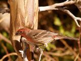 Male Finch 6.jpg
