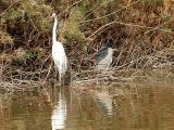 Egret and Heron 1 lo rez.jpg