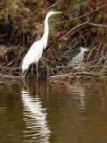 Egret and Heron 2 lo rez.jpg
