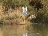 Egret flying 1 lo rez.jpg