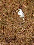 Egret in Tree 1 lo rez.jpg