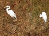 Egret pair 1 lo rez.jpg