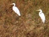 Egrets 2 of a kind lo rez.jpg
