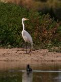 Great Egret 6.jpg