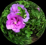 Another Spherized Rose Of Sharon