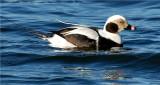 Long-tailed Duck - Male (Clangula hyemalis)