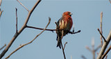 White-winged Crossbill - Male       (Loxia leucoptera)