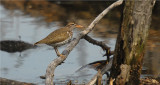 Spotted Sandpiper (Actitis macularia )