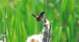 Marsh Wren (Cistothorus palustris)