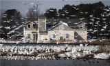 Snow Geese  & Visitor Center