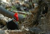 Pileated Woodpecker 6.JPG