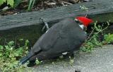 Pileated Woodpecker 7.JPG