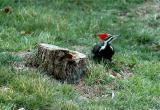 Pileated Woodpecker 9.JPG