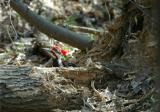 Pileated Woodpecker 5.JPG