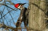 Pileated Woodpecker 15.JPG