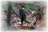 Pileated Woodpecker 21.JPG
