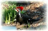 Pileated Woodpecker 22.JPG