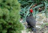 Pileated Woodpecker 29.JPG
