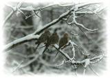 Winter Scene - Mourning Doves