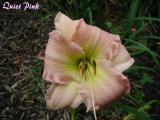Quiet Pink.JPG