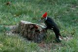Pileated Woodpecker 33.JPG