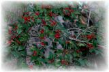 Winter Holly.JPG