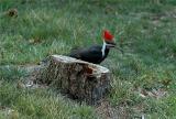 Pileated Woodpecker 35.JPG