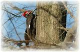 Pileated Woodpecker 37.JPG